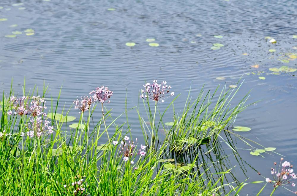 сусак зонтичный декоративные растения для ручья