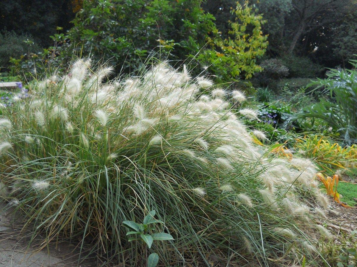 перистощетинник мохнатый декоративный злак для сада