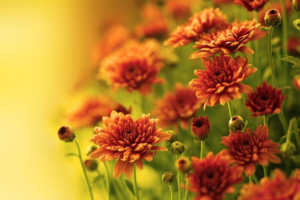 садовые хризантемы солнечная клумба своими руками