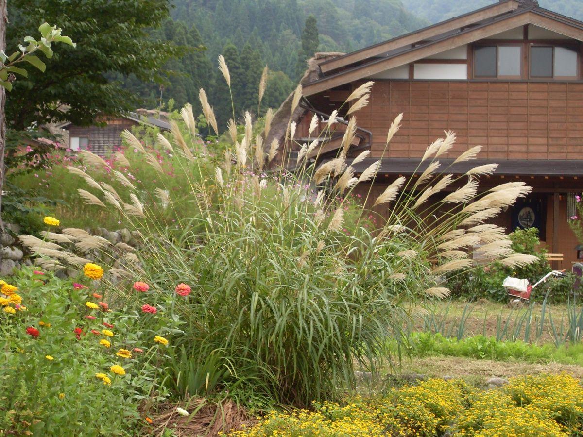мискантус декоративный злак для сада