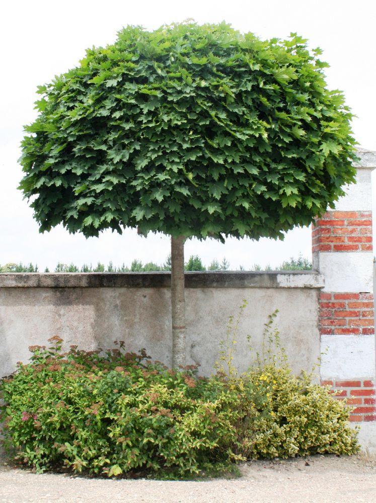 клен остролистный декоративные листопадные кустарники для сада