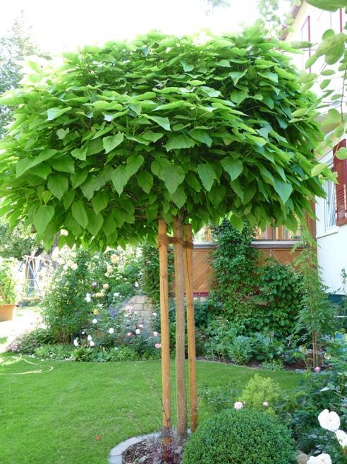 Катальпа бигнониевая декоративные листопадные кустарники для сада