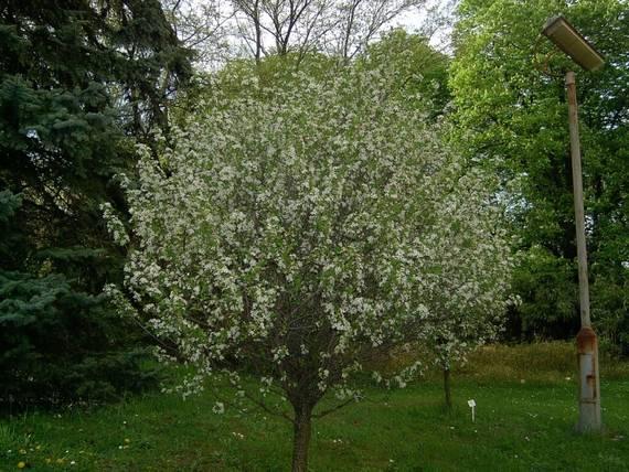 вишня степная листопадные декоративные деревья
