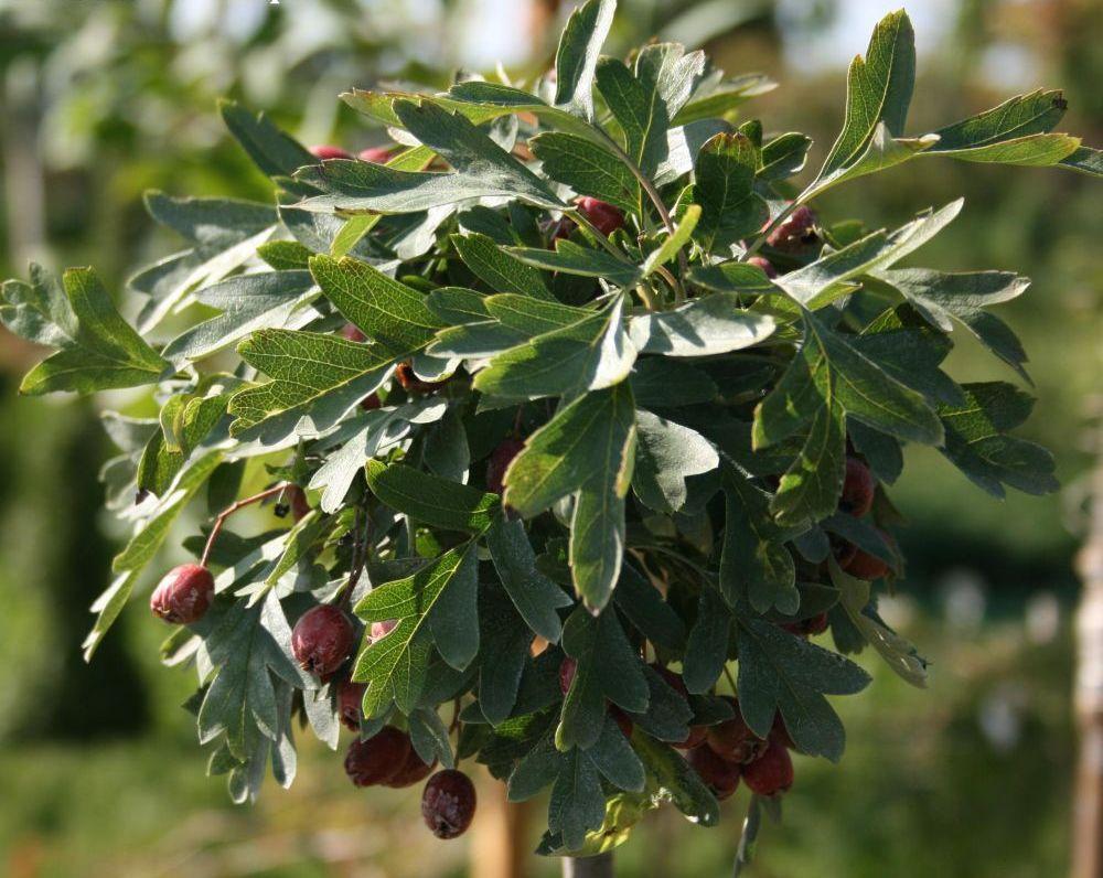 боярышник однопестичный листопадные декоративные деревья