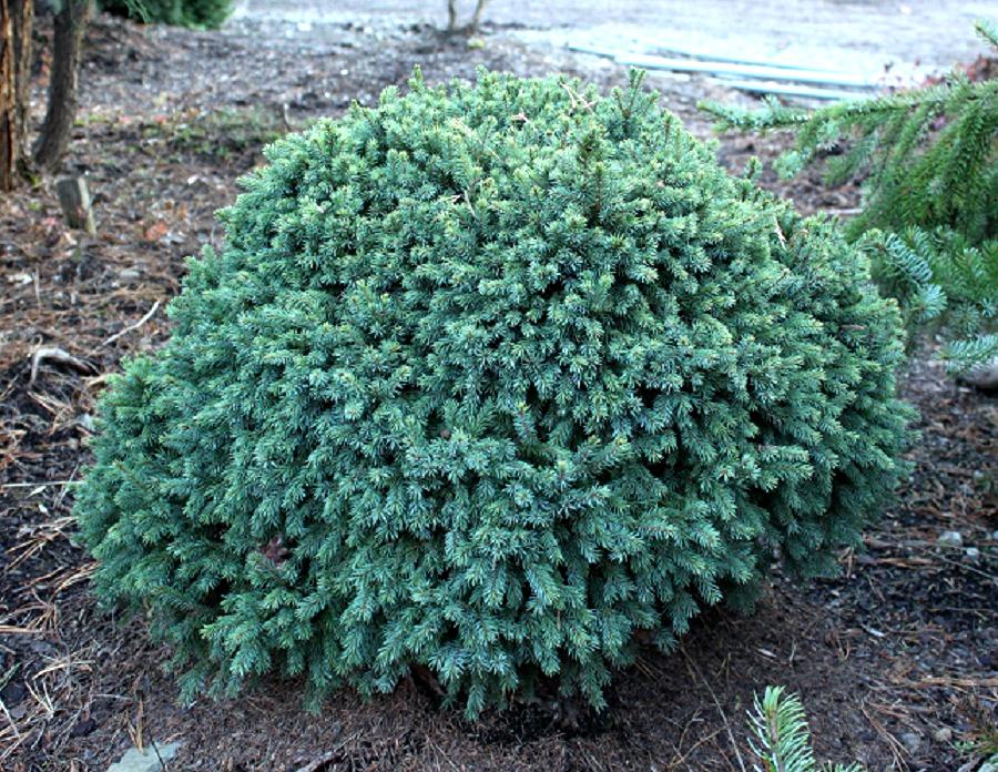 echiniformis декоративная ель для сада хвойник