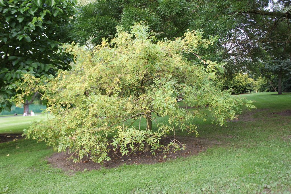 ясень обыкновенный или высокий декоративные листопадные кустарники для сада