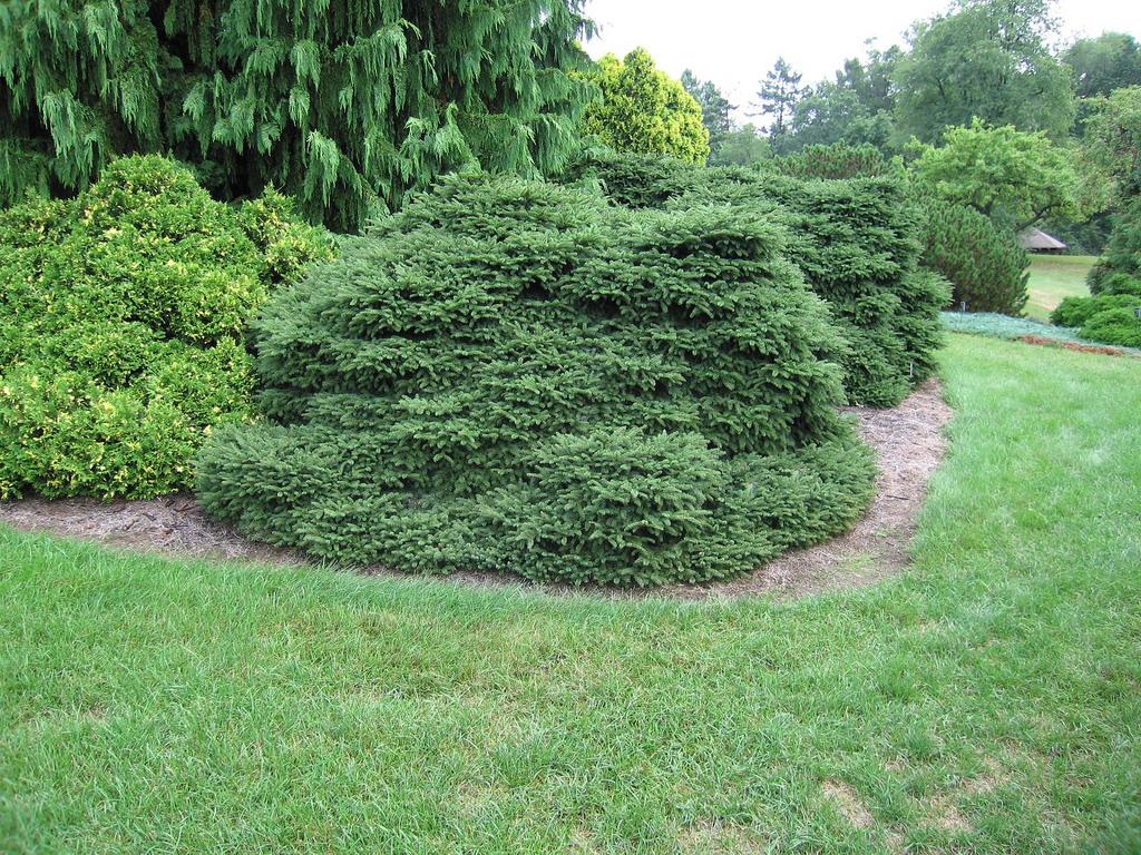 nidiformis обыкновенная ель декоративные хвойники в сад