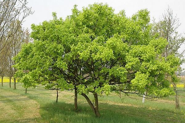 дуб черешчатый листопадные декоративные деревья
