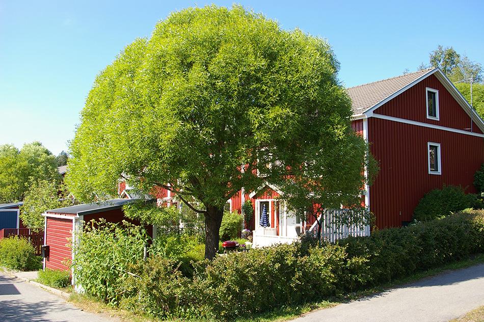 ива ломкая декоративные листопадные кустарники для сада