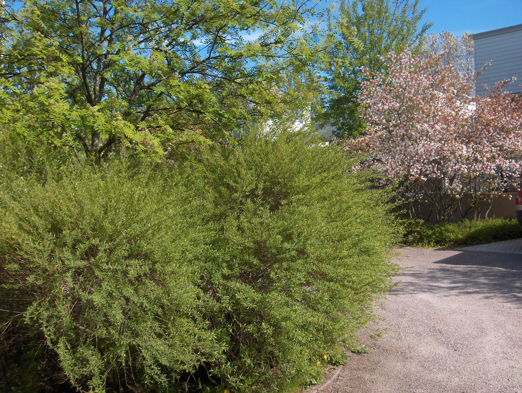 ива пурпурная декоративные листопадные кустарники для сада