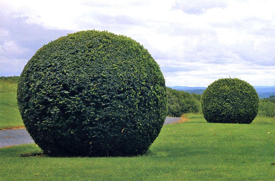 хвойники растения шары стрижка декоративных деревьев