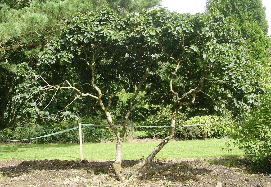 вяз шершавый листопадные декоративные деревья