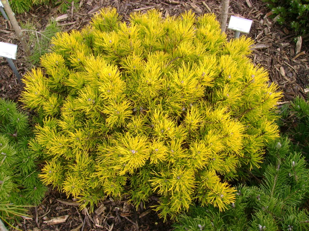 winter gold декоративная горная сосна хвойники для сада