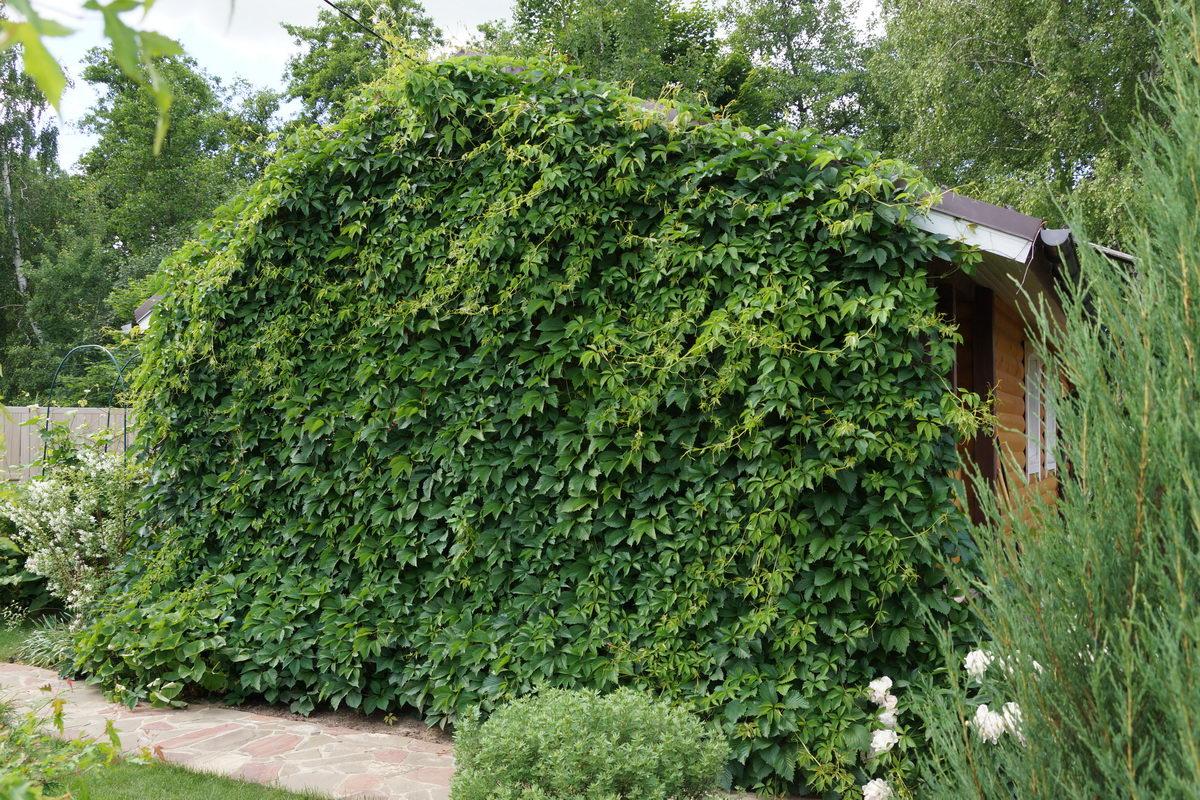 вертикальное озеленение стена дома