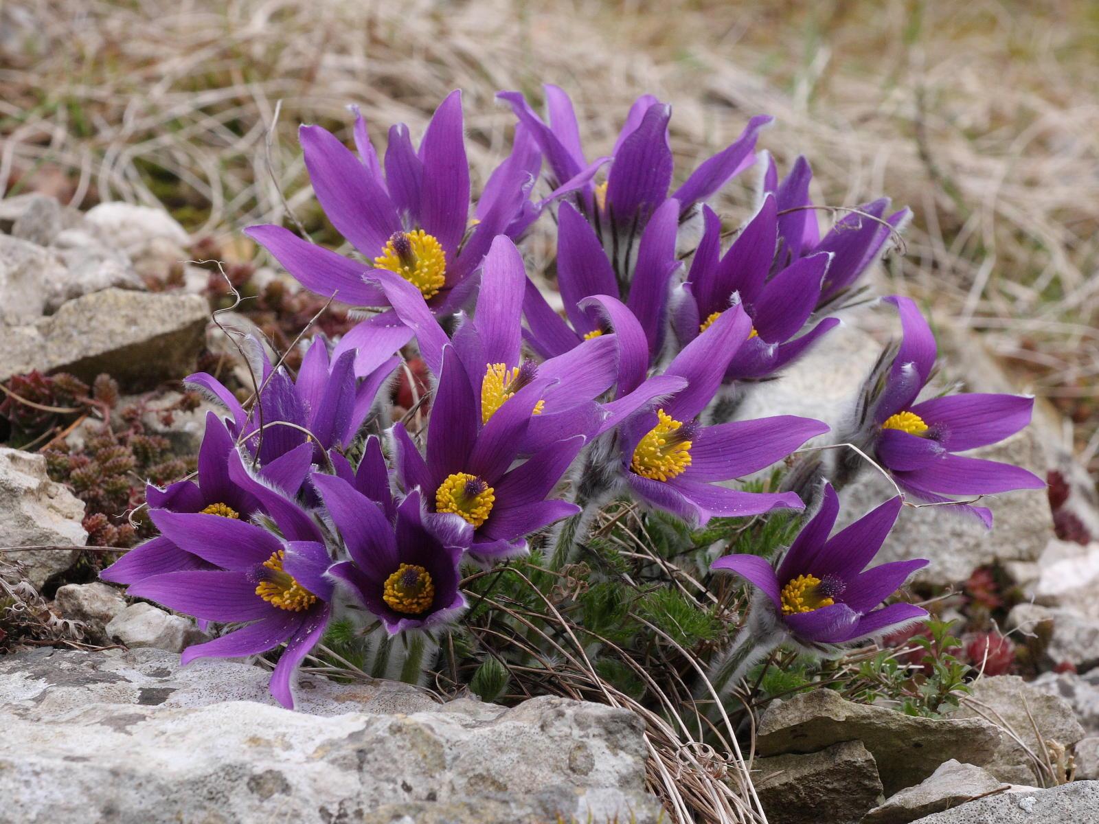 красивые сибирские цветы сон-трава прострел