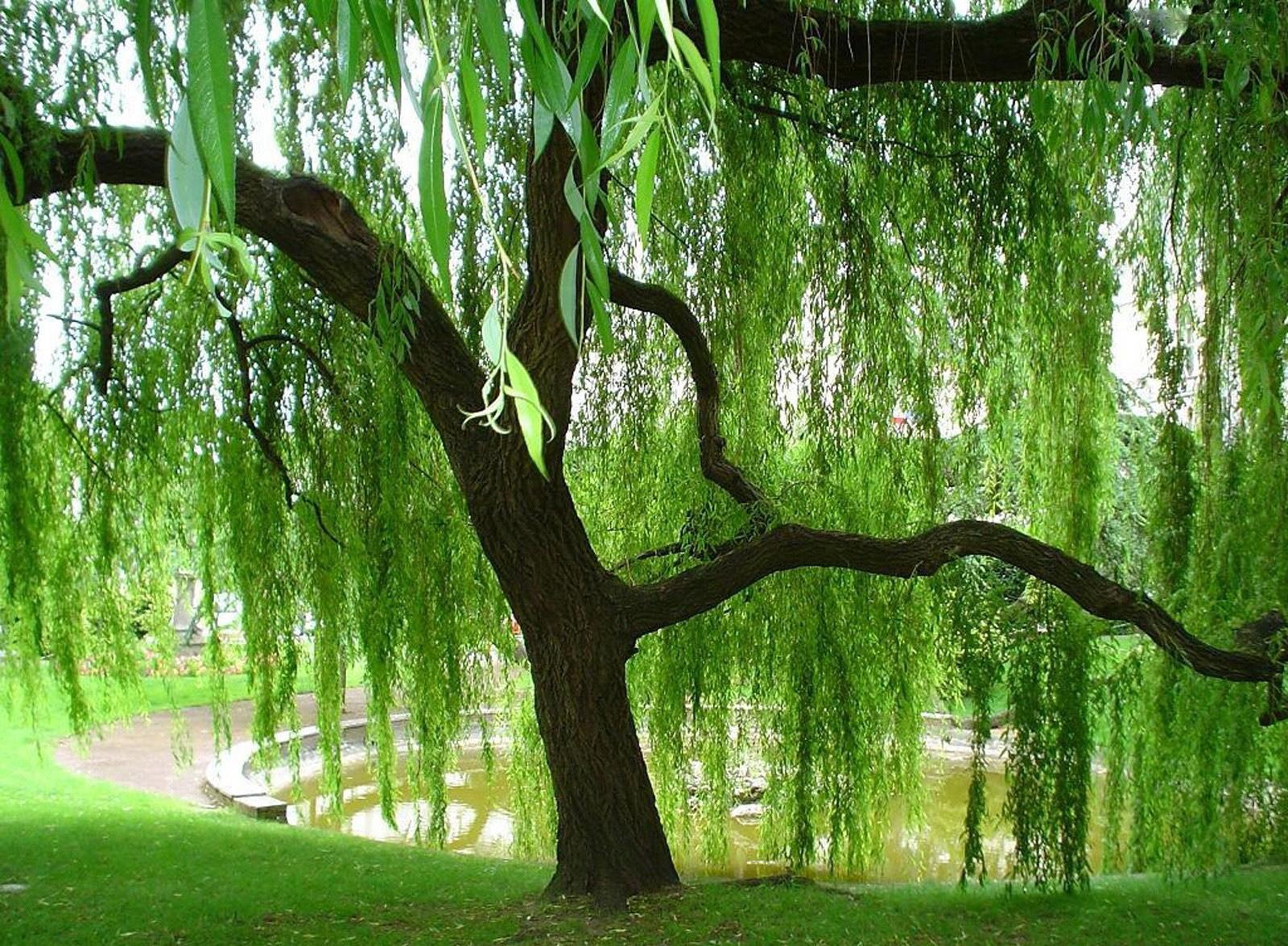 японский сад символизм японских садов ива