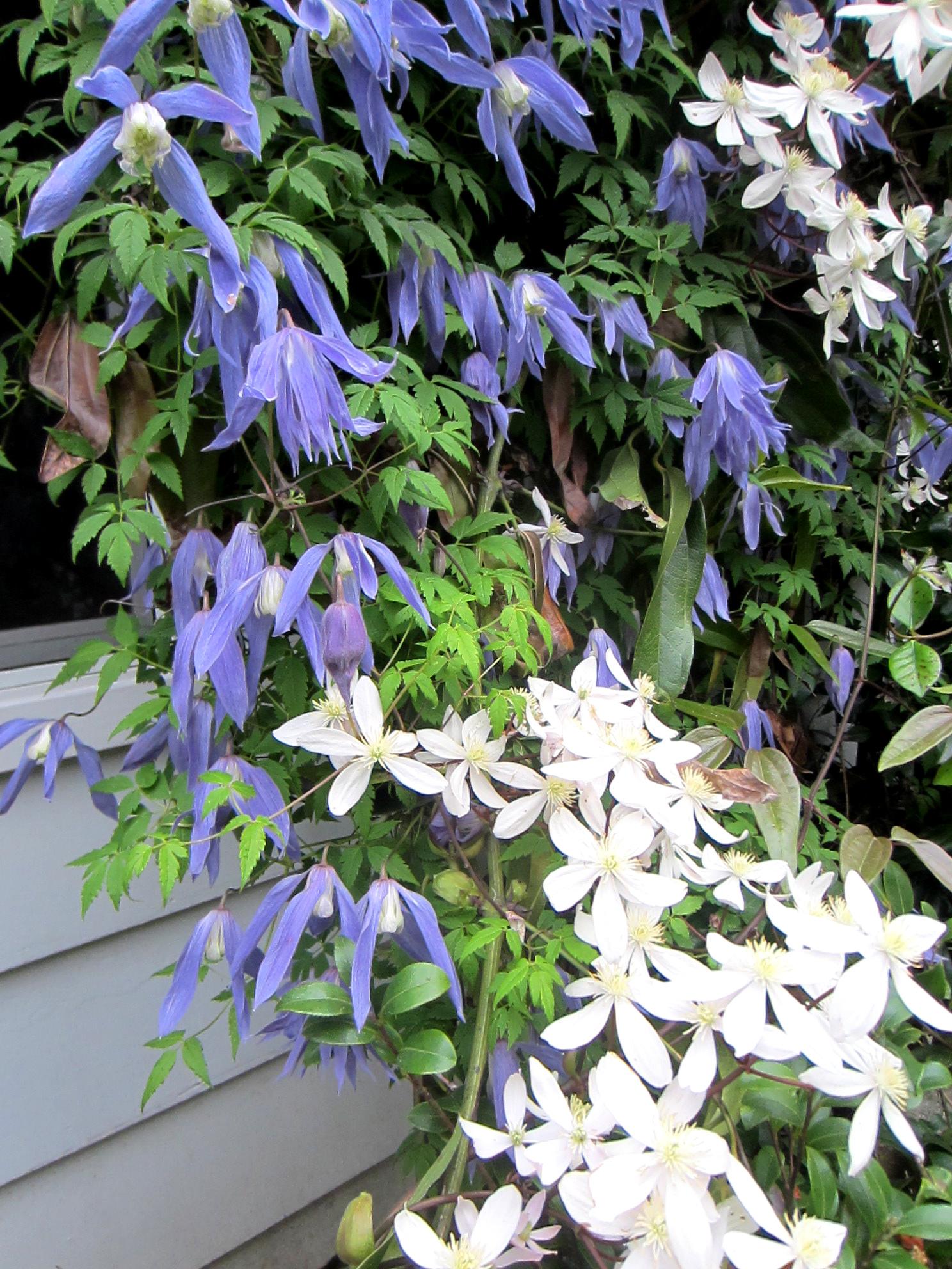цветы для Сибири и Урала клематис