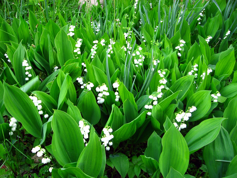 растения для кислых почв ландыши
