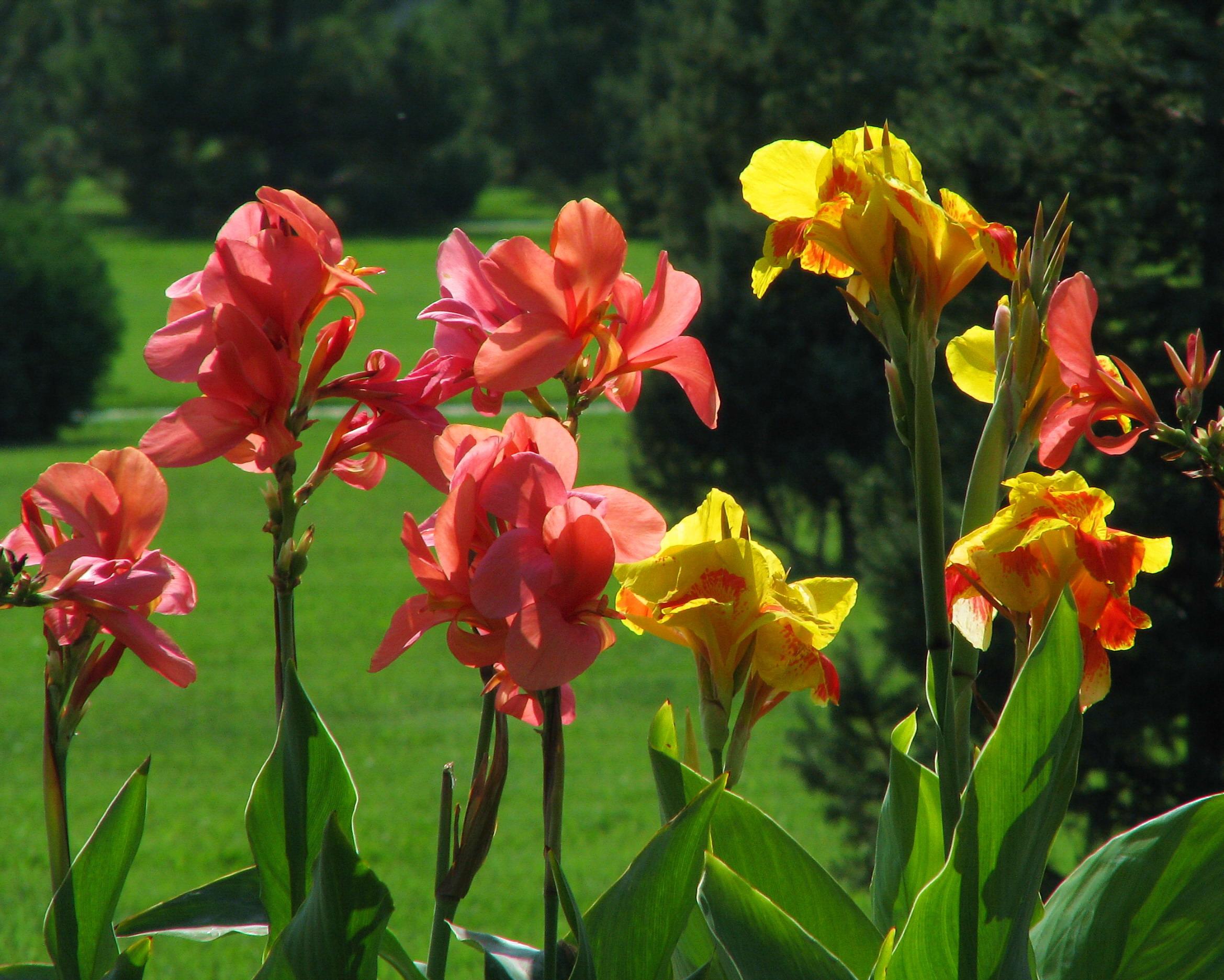 канны цветы выращивание и уход канны гибридные садовые