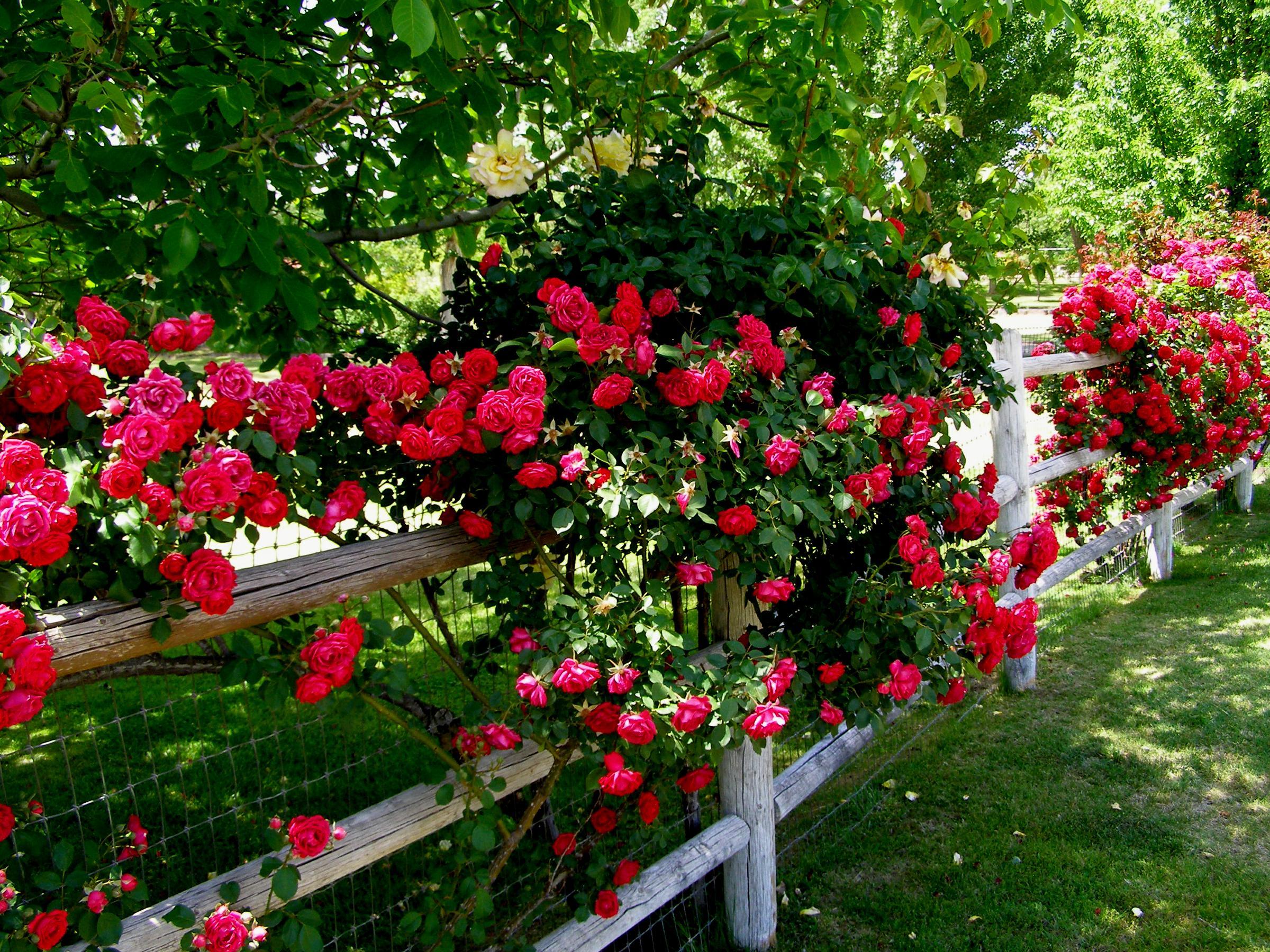 цветы для Сибири и Урала плетистые розы