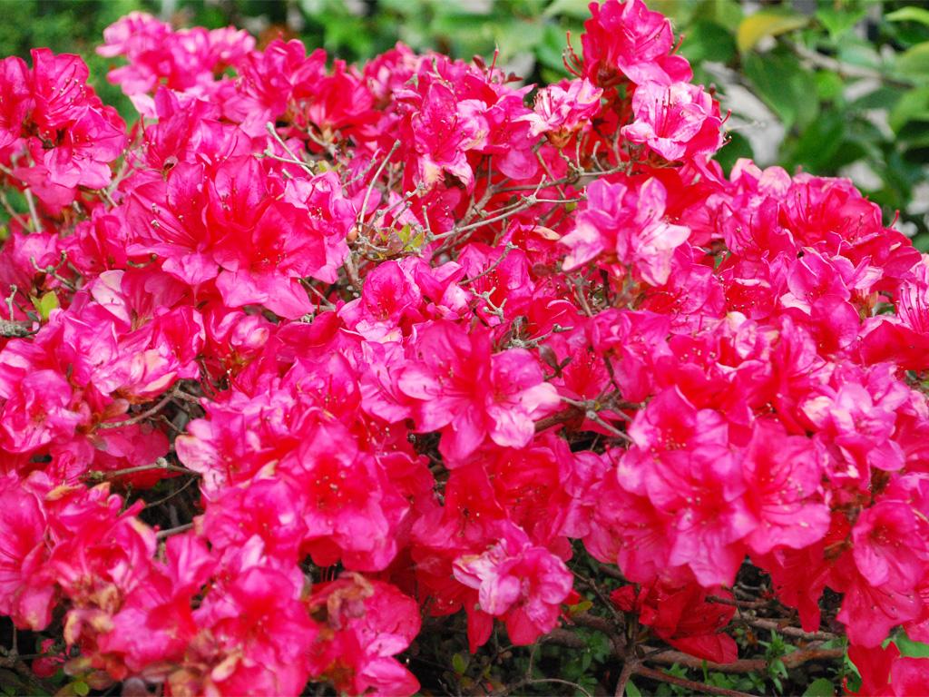 растения для кислых почв азалия