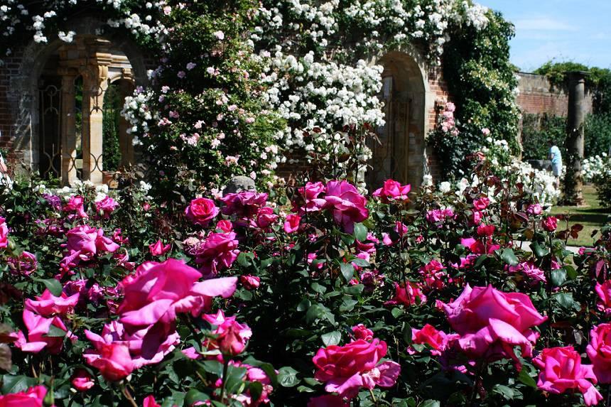 Замок Хивер сад роз красивый сад Англия клумба вертикальное озеленение плетистые розы