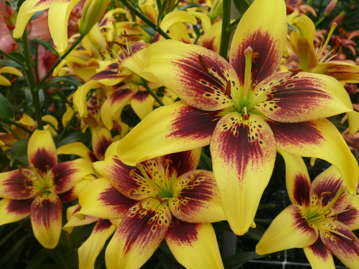 растения для кислых почв азиатские лилии