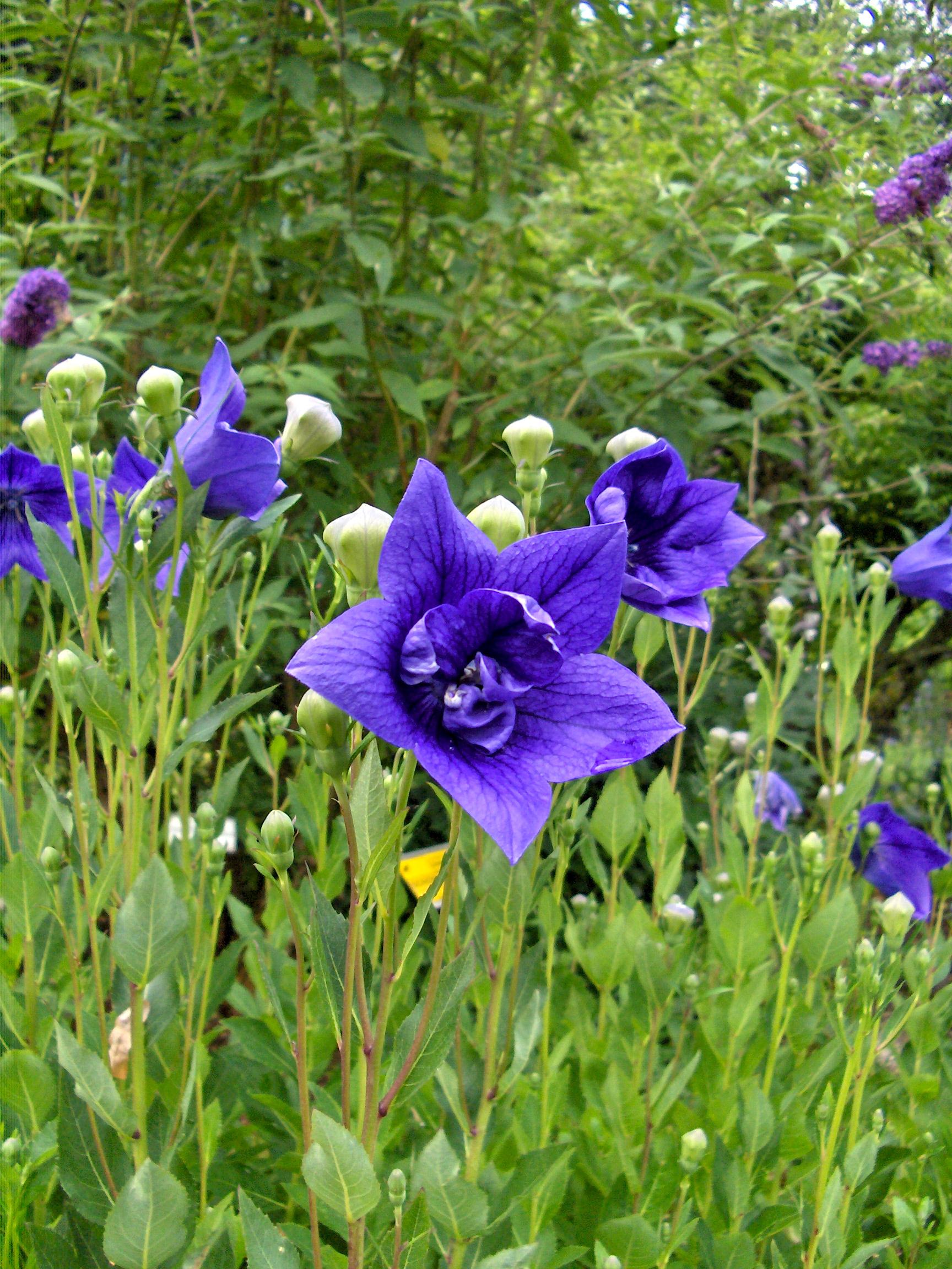 синие цветы для сада монохномный цветник колокольчики
