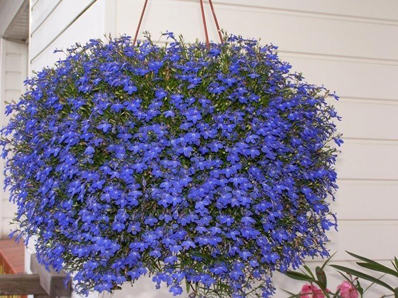монохромный цветник синий лобелия