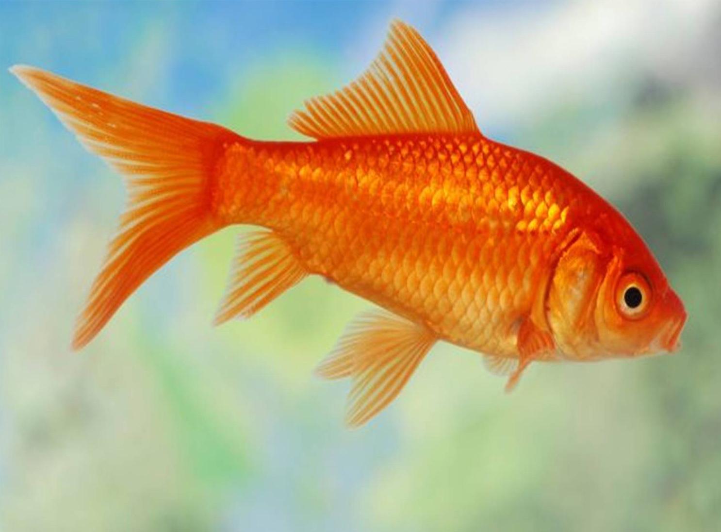 декоративные рыбки для водоема для пруда золотой карась