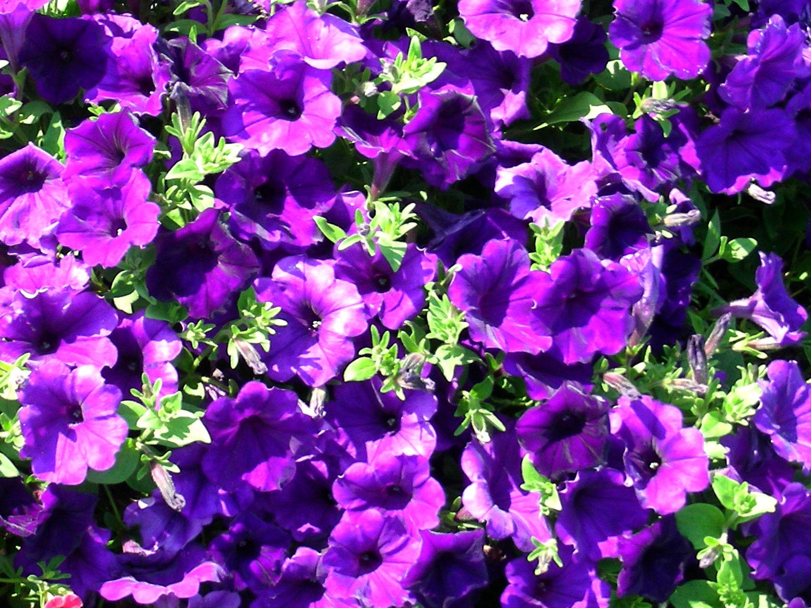 синие цветы для сада монохномный цветник Петуния