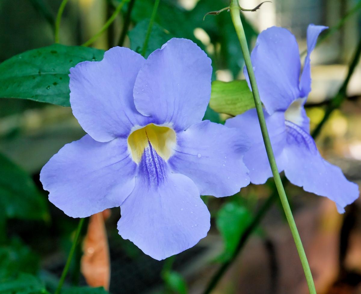 синие цветы для сада монохномный цветник Тунбергия Крылатая