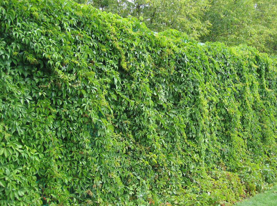 вертикальное озеленение забор