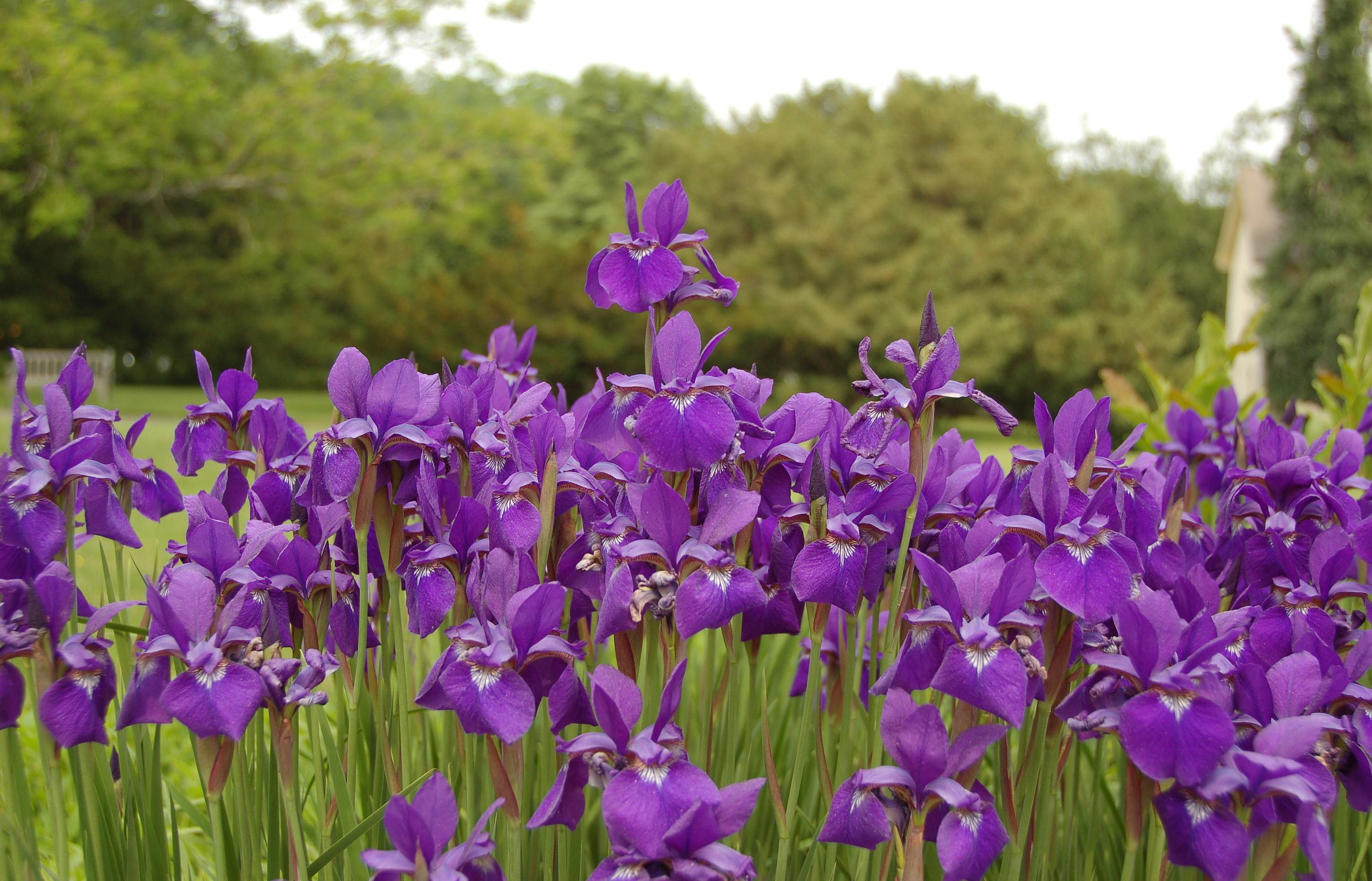 синие цветы для сада монохномный цветник Ирис