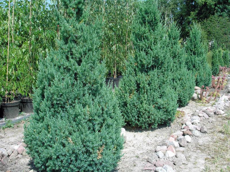 неприхотливые хвойники для украшения сада можжевельник китайский