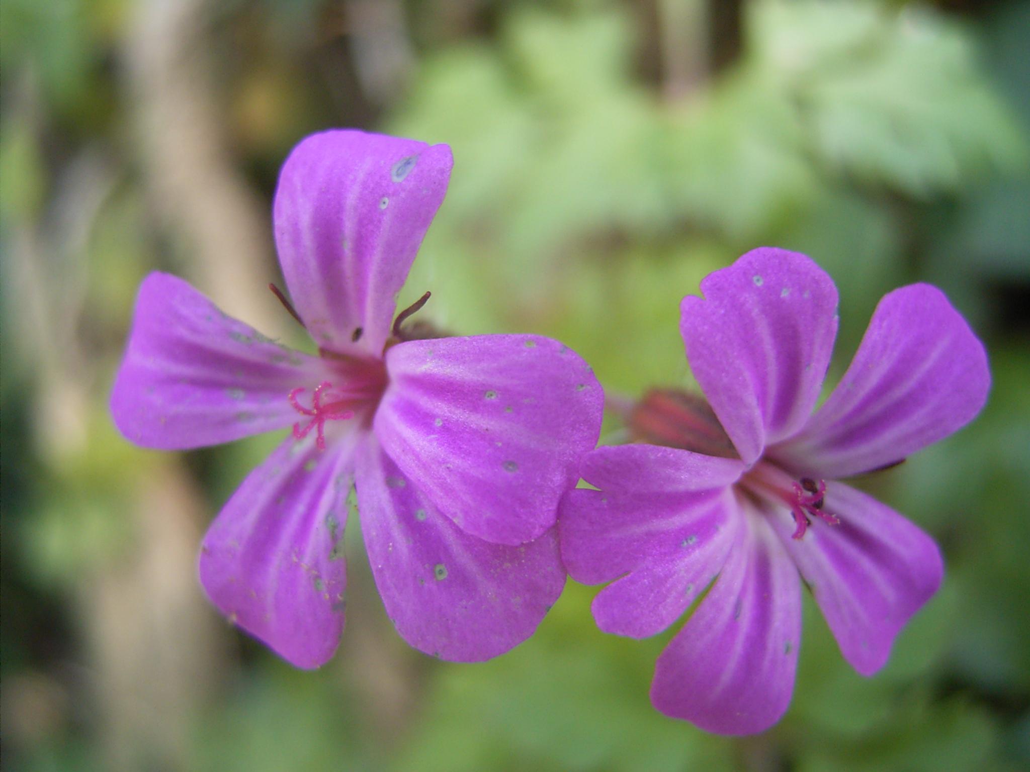 синие цветы для сада монохномный цветник Герань (голубая)