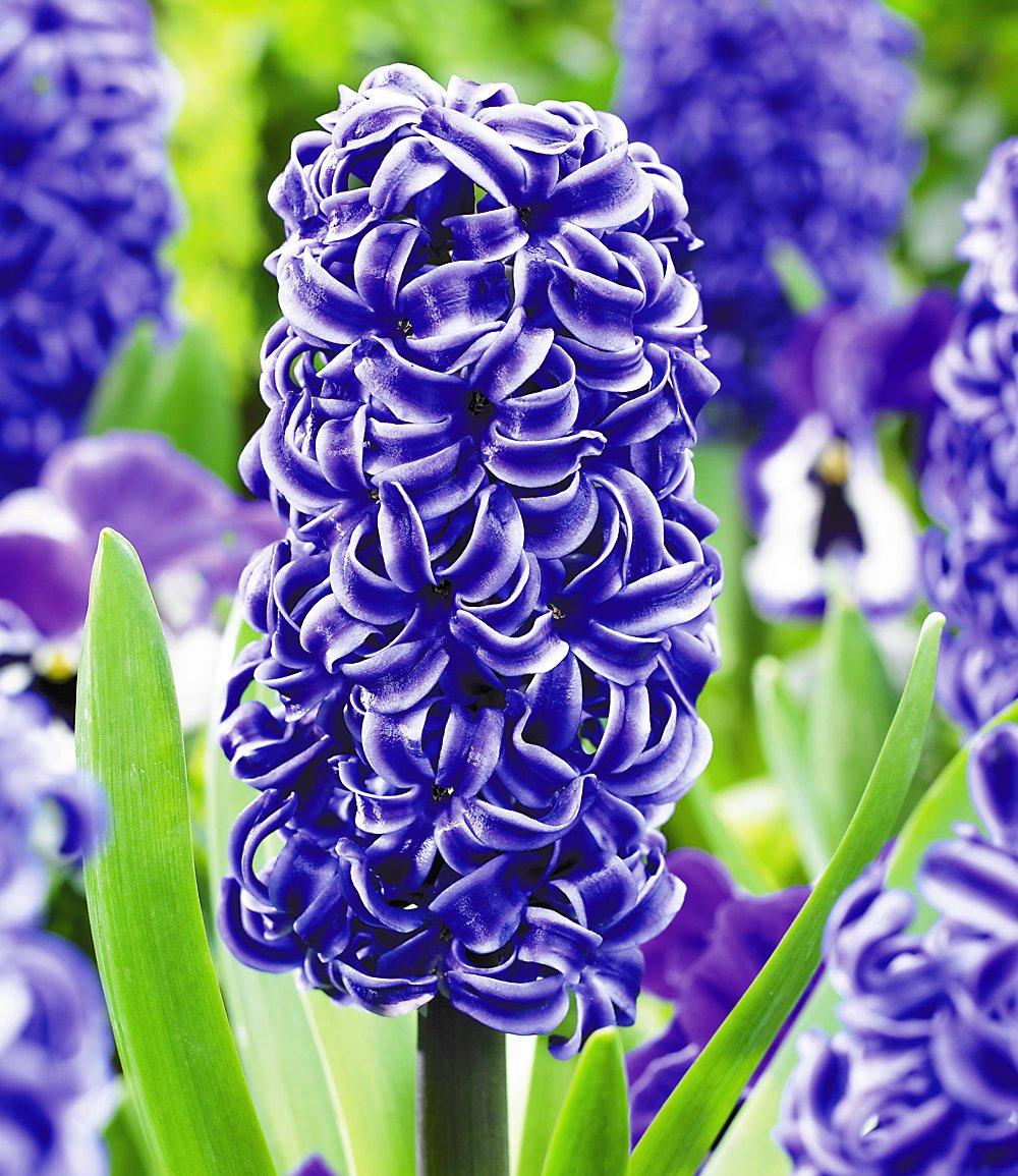 синие цветы для сада монохномный цветник Гиацинты