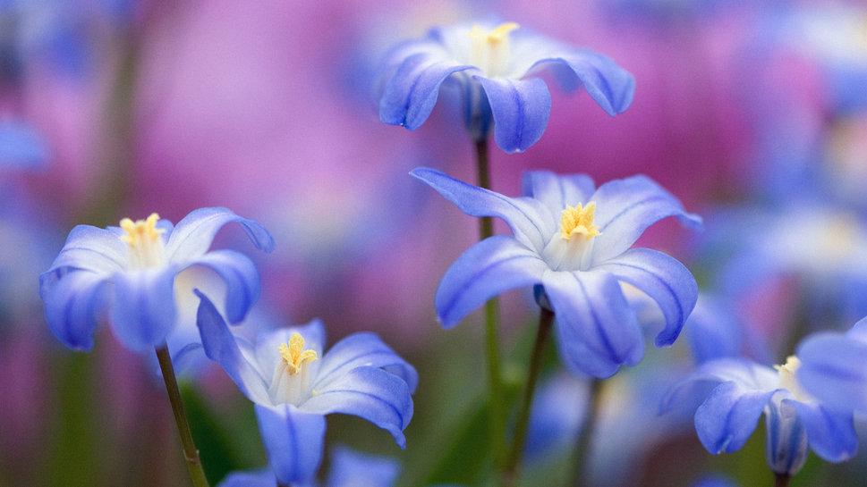 синие цветы для сада монохномный цветник Хионодоксы