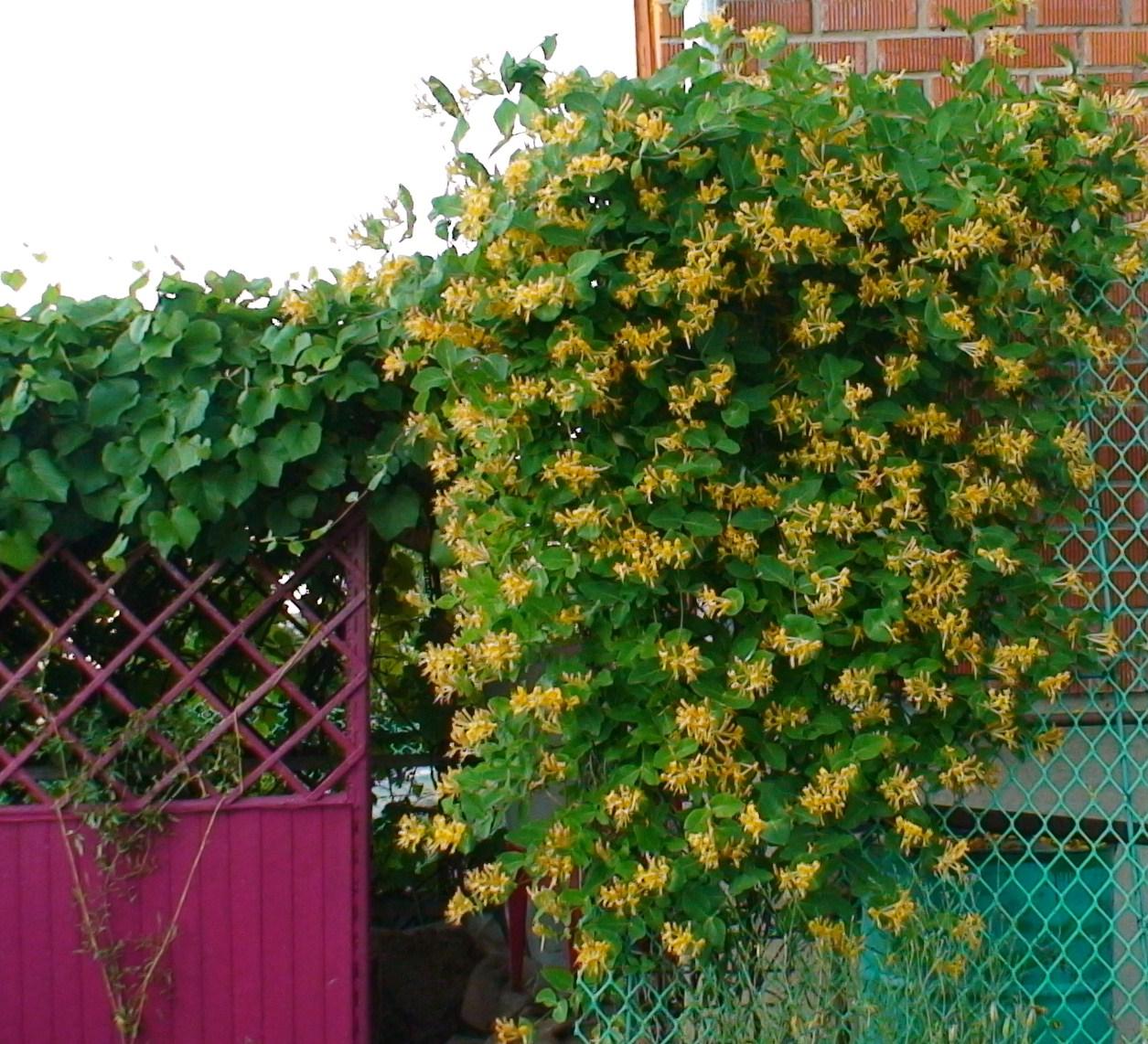 декоративные лианы для сада вьющаяся жимолость