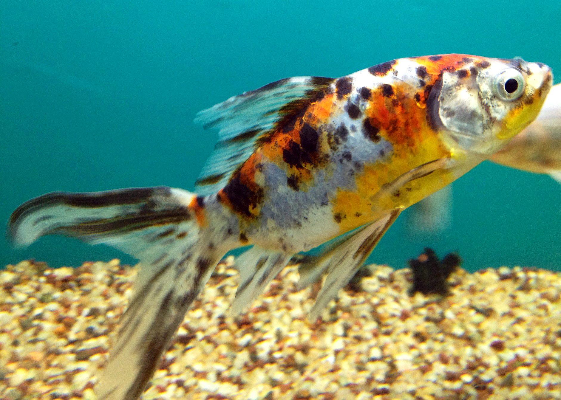 декоративные рыбки для водоема для пруда шубункин