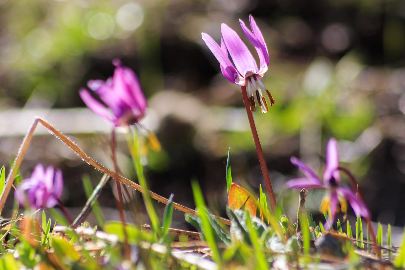 красивые сибирские цветы кандык сибирский
