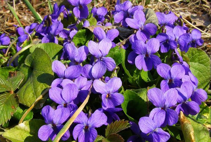синие цветы для сада монохномный цветник Лесные фиалки