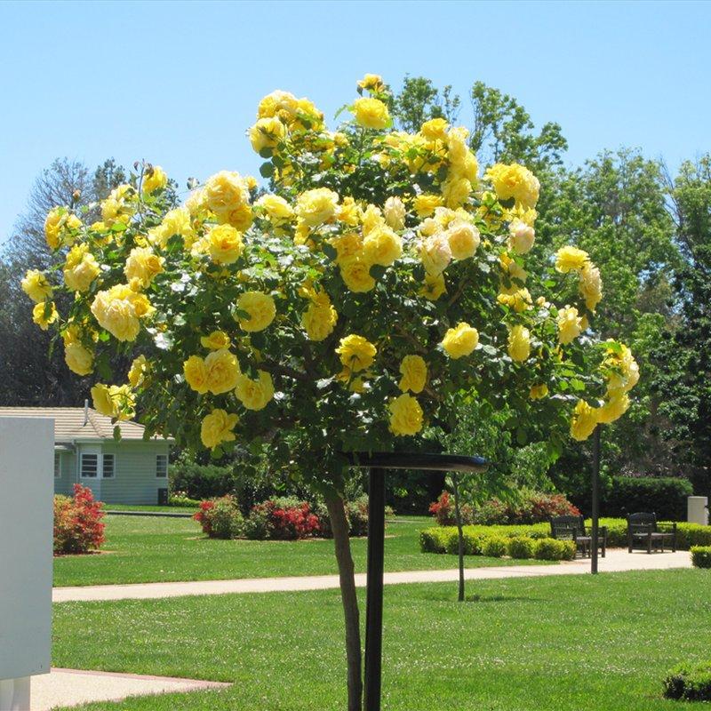 штамбовые растения своими руками прививка розы на штамб