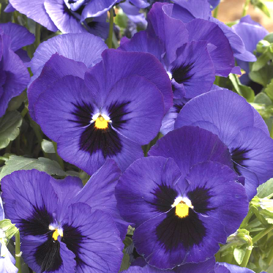 синие цветы для сада монохномный цветник Виолы