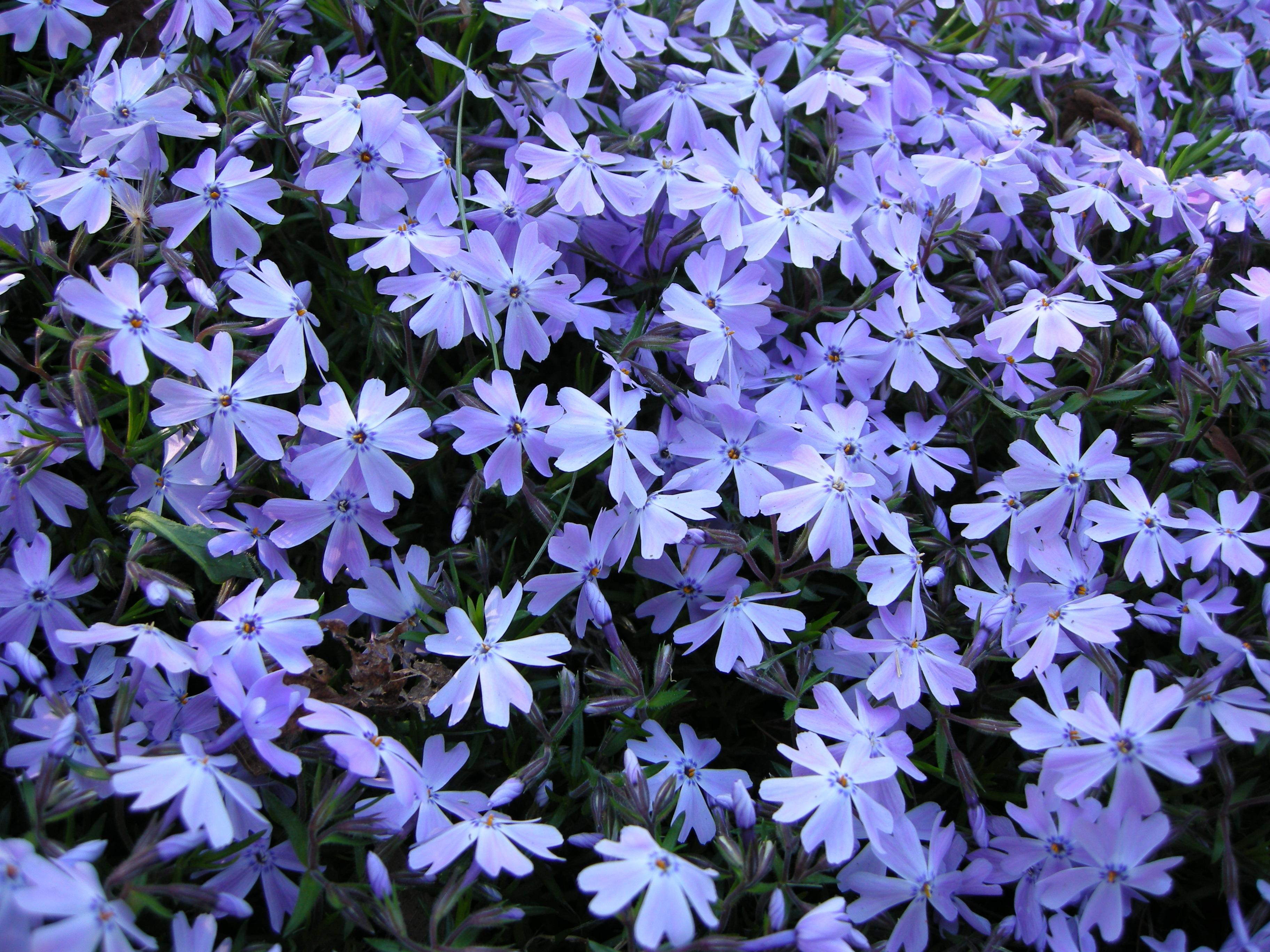 синие цветы для сада монохномный цветник Флокс Шиловидный