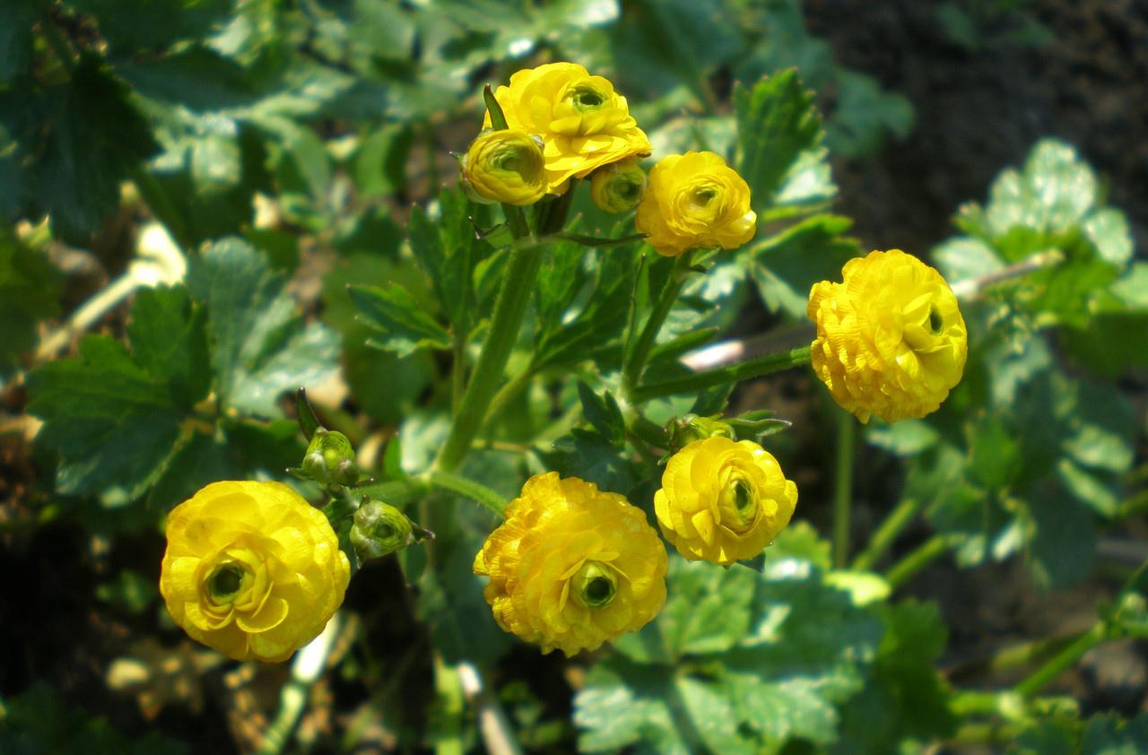 растения для кислых почв едкий лютик