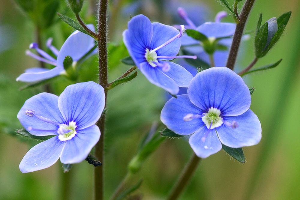 синие цветы для сада монохномный цветник Вероника Дубравная