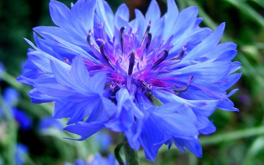 синие цветы для сада монохномный цветник Василек