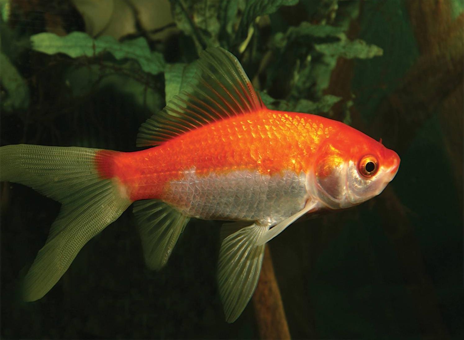 декоративные рыбки для водоема для пруда комета