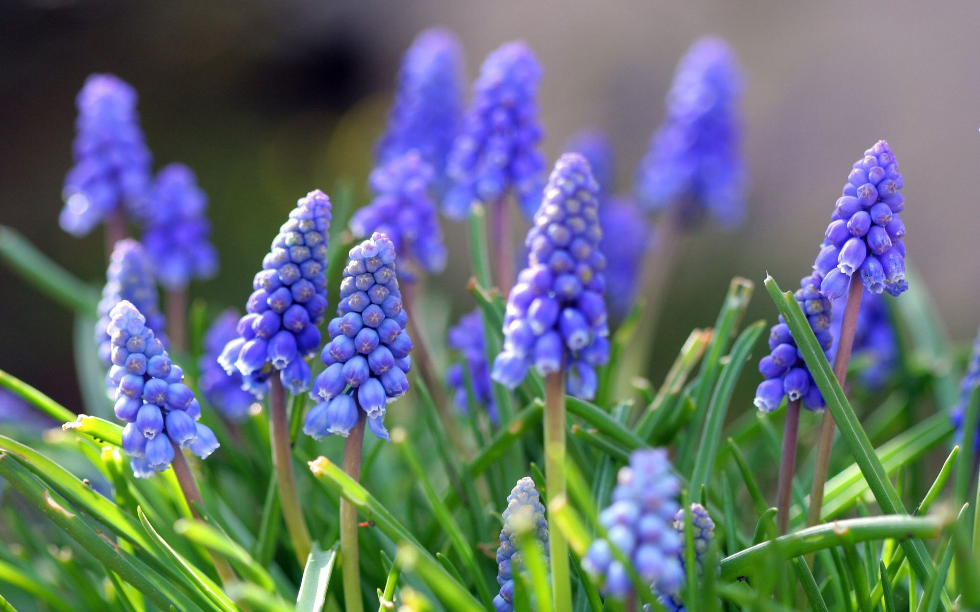 красивые сибирские цветы мускари